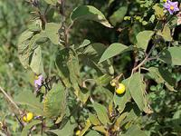 yellow fruit on a tree with purple flowers
